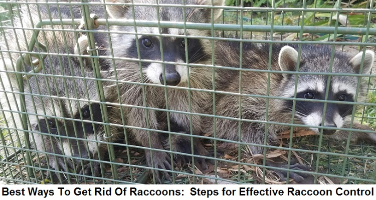 Best Ways To Get Rid Of Raccoons: Steps For Effective Raccoon Control