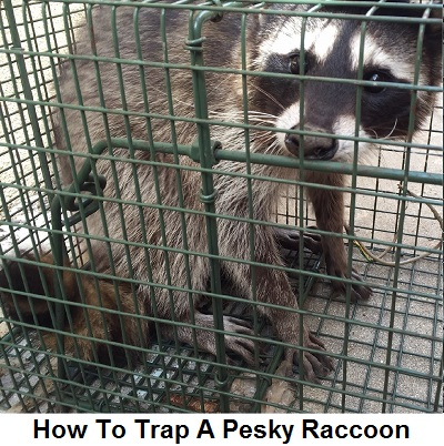 How to Trap a Raccoon | DIY | Raccoon Removal Guide