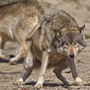 Get Rid of Raccoons with Predator Urine