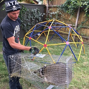 Raccoon Trapping & Removal