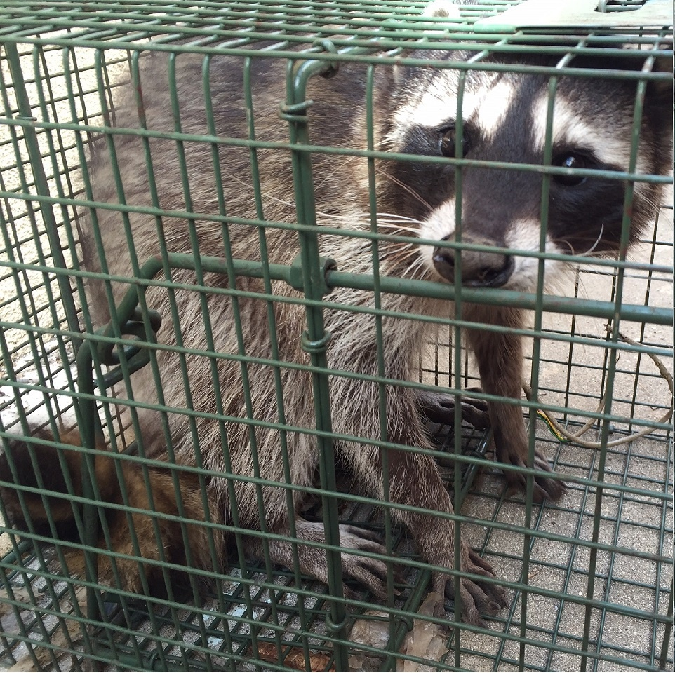 Raccoon Removal Colorado springs