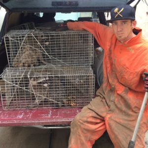Professional Raccoon Trapper in Denver, CO.