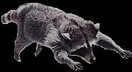 Flying Raccoons