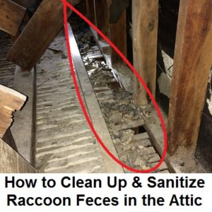 How to Clean Up Raccoon Feces - Best DIY