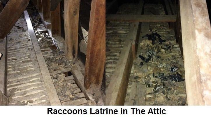 Photos Of Raccoon Latrine