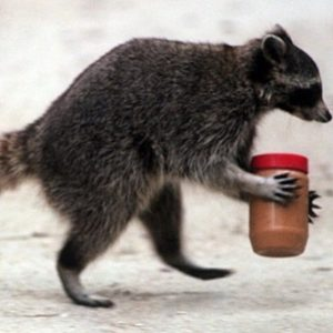 Best Baits for Raccoons